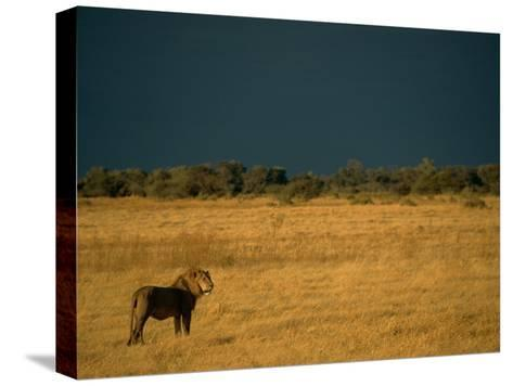 A Male African Lion Looks out over His Territory-Beverly Joubert-Stretched Canvas Print