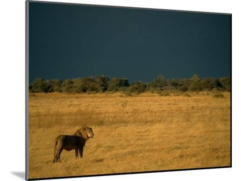 A Male African Lion Looks out over His Territory-Beverly Joubert-Mounted Photographic Print
