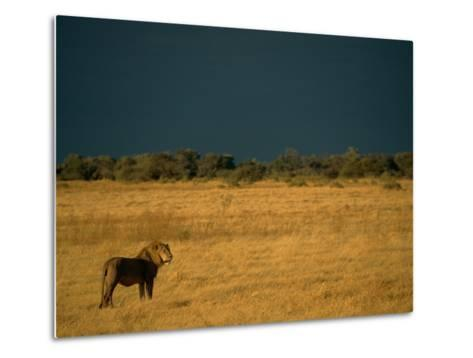 A Male African Lion Looks out over His Territory-Beverly Joubert-Metal Print