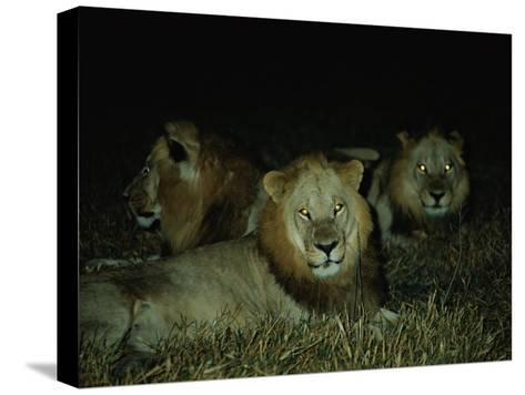 Eyes of Several African Lions Glow from a Strobe Flash in This Night View-Beverly Joubert-Stretched Canvas Print