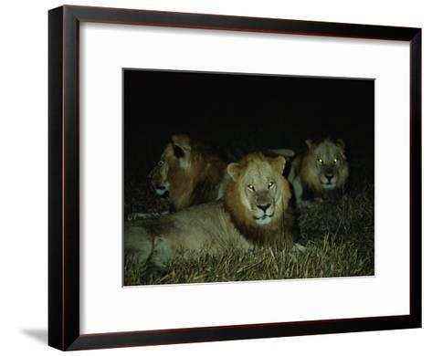 Eyes of Several African Lions Glow from a Strobe Flash in This Night View-Beverly Joubert-Framed Art Print