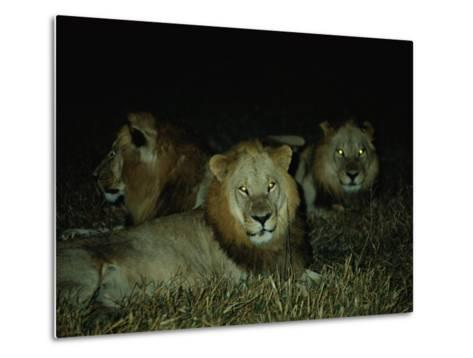 Eyes of Several African Lions Glow from a Strobe Flash in This Night View-Beverly Joubert-Metal Print