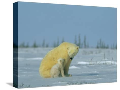 A Female Polar Bear Looks Affectionately Toward Her Cub-Norbert Rosing-Stretched Canvas Print