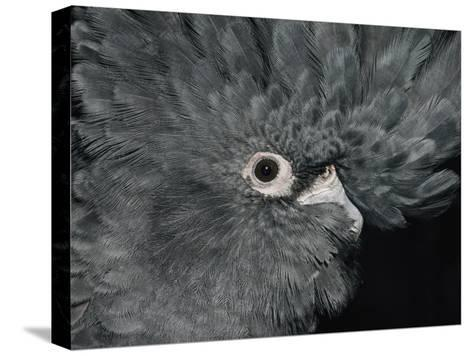 The Ruffled Feathers on the Head of a Red-Tailed Black Cockatoo-Jason Edwards-Stretched Canvas Print