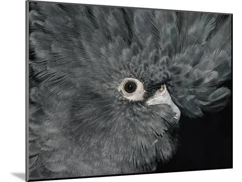 The Ruffled Feathers on the Head of a Red-Tailed Black Cockatoo-Jason Edwards-Mounted Photographic Print
