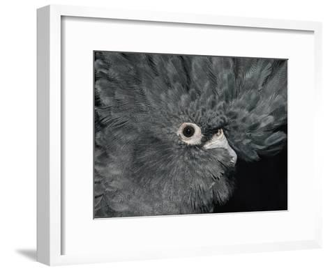 The Ruffled Feathers on the Head of a Red-Tailed Black Cockatoo-Jason Edwards-Framed Art Print