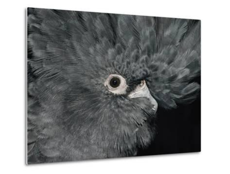 The Ruffled Feathers on the Head of a Red-Tailed Black Cockatoo-Jason Edwards-Metal Print