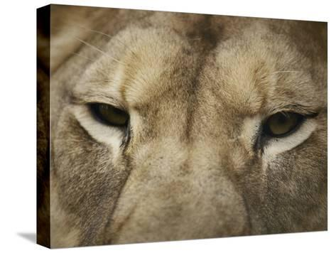 A Close View of the Head of a Lion-Jason Edwards-Stretched Canvas Print