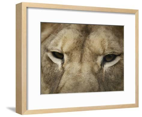A Close View of the Head of a Lion-Jason Edwards-Framed Art Print