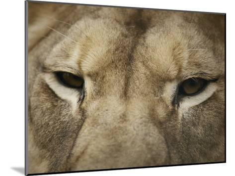 A Close View of the Head of a Lion-Jason Edwards-Mounted Photographic Print