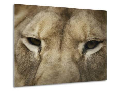 A Close View of the Head of a Lion-Jason Edwards-Metal Print