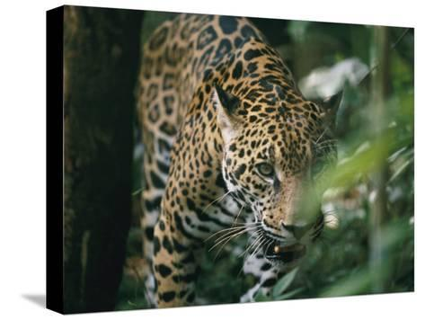 A Captive Leopard Stalks Through the Dark Brush-Skip Brown-Stretched Canvas Print