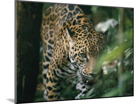 A Captive Leopard Stalks Through the Dark Brush-Skip Brown-Mounted Photographic Print
