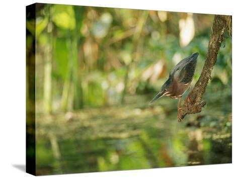 A Green Heron Perched on a Branch-Roy Toft-Stretched Canvas Print