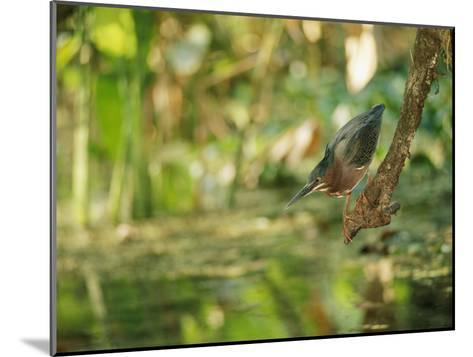 A Green Heron Perched on a Branch-Roy Toft-Mounted Photographic Print