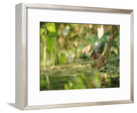 A Green Heron Perched on a Branch-Roy Toft-Framed Art Print