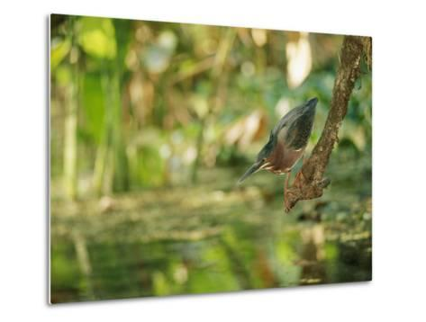 A Green Heron Perched on a Branch-Roy Toft-Metal Print