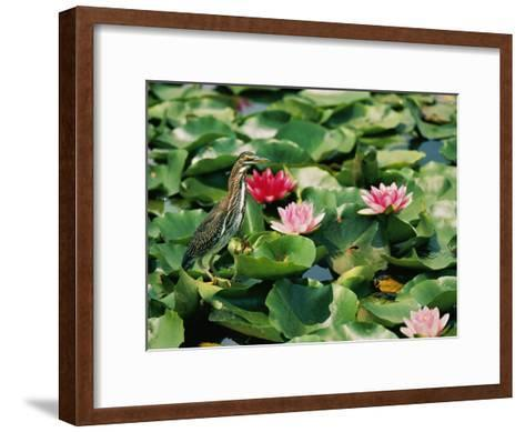 A Green-Backed Heron Sits on a Large Grouping of Lily Pads-Brian Gordon Green-Framed Art Print