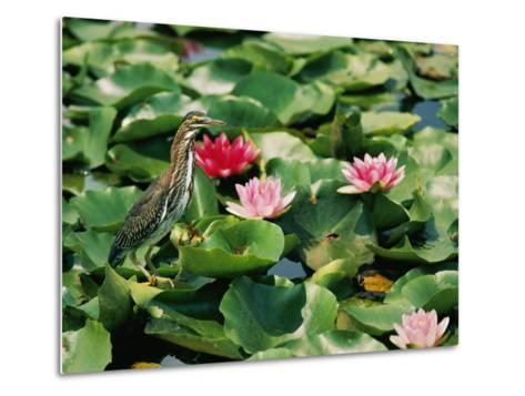 A Green-Backed Heron Sits on a Large Grouping of Lily Pads-Brian Gordon Green-Metal Print