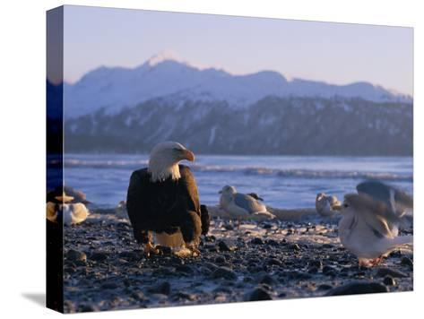 A Bald Eagle Surrounded by Sea Gulls-Norbert Rosing-Stretched Canvas Print