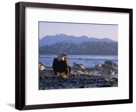 A Bald Eagle Surrounded by Sea Gulls-Norbert Rosing-Framed Art Print