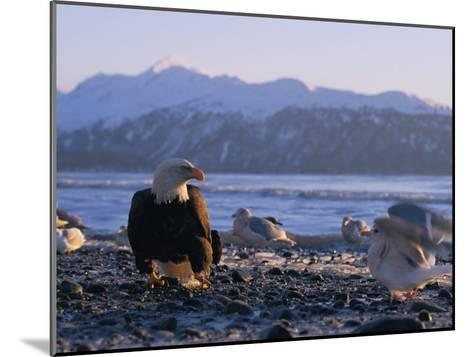 A Bald Eagle Surrounded by Sea Gulls-Norbert Rosing-Mounted Photographic Print