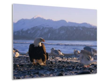 A Bald Eagle Surrounded by Sea Gulls-Norbert Rosing-Metal Print