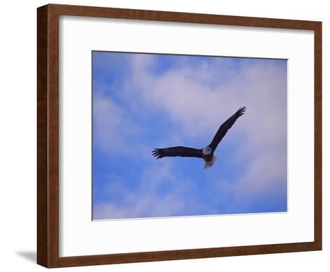 Bald Eagle in Flight-Norbert Rosing-Framed Art Print