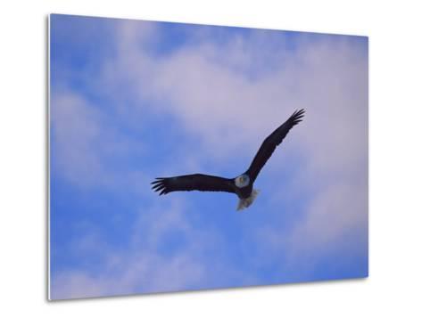 Bald Eagle in Flight-Norbert Rosing-Metal Print