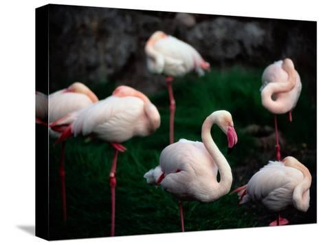 A Group of Flamingos Resting Upon One Foot-Joel Sartore-Stretched Canvas Print