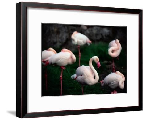 A Group of Flamingos Resting Upon One Foot-Joel Sartore-Framed Art Print