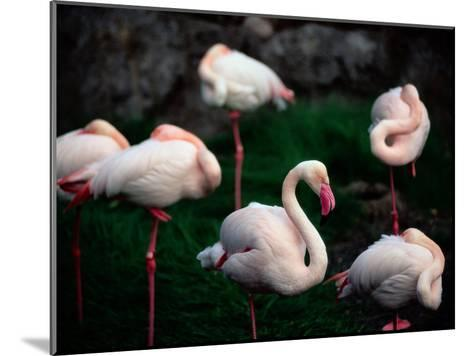 A Group of Flamingos Resting Upon One Foot-Joel Sartore-Mounted Photographic Print
