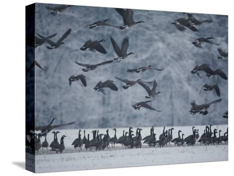 Canada Geese Gather in a Snowy Field in Tennessee-Karen Kasmauski-Stretched Canvas Print