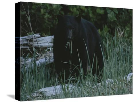 A Close View of a Black Bear Standing in Tall Grasses Near a Log-Joel Sartore-Stretched Canvas Print