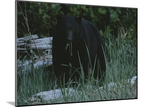 A Close View of a Black Bear Standing in Tall Grasses Near a Log-Joel Sartore-Mounted Photographic Print