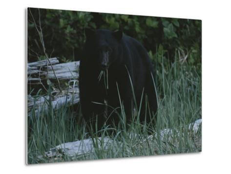 A Close View of a Black Bear Standing in Tall Grasses Near a Log-Joel Sartore-Metal Print