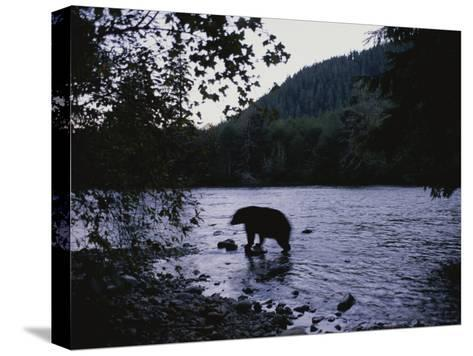 A Black Bear Searches for Sockeye Salmon in Shallow Waters-Joel Sartore-Stretched Canvas Print