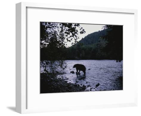 A Black Bear Searches for Sockeye Salmon in Shallow Waters-Joel Sartore-Framed Art Print