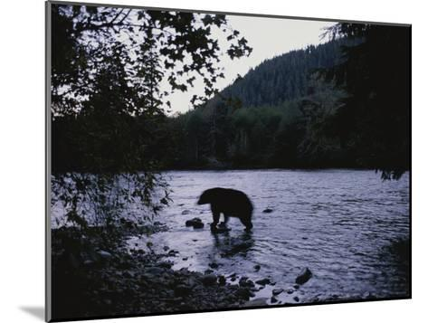 A Black Bear Searches for Sockeye Salmon in Shallow Waters-Joel Sartore-Mounted Photographic Print