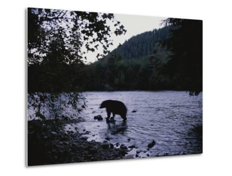 A Black Bear Searches for Sockeye Salmon in Shallow Waters-Joel Sartore-Metal Print
