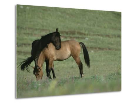 Two Wild Horses Bonding in a Field-Chris Johns-Metal Print