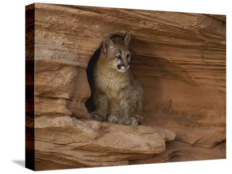 A Young Mountain Lion Rests in a Rocky Niche-Norbert Rosing-Stretched Canvas Print