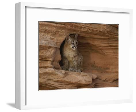 A Young Mountain Lion Rests in a Rocky Niche-Norbert Rosing-Framed Art Print