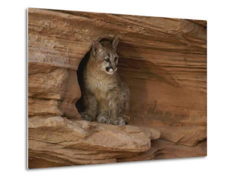 A Young Mountain Lion Rests in a Rocky Niche-Norbert Rosing-Metal Print