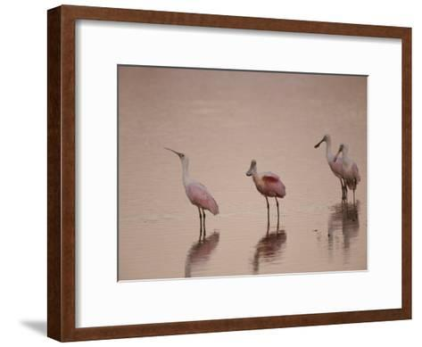 Roseate Spoonbills Stand in Shallow Water, Reflecting the Pink Sunset-Nicole Duplaix-Framed Art Print