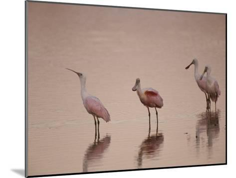 Roseate Spoonbills Stand in Shallow Water, Reflecting the Pink Sunset-Nicole Duplaix-Mounted Photographic Print