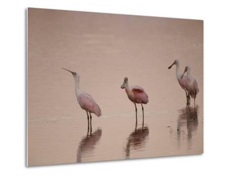 Roseate Spoonbills Stand in Shallow Water, Reflecting the Pink Sunset-Nicole Duplaix-Metal Print