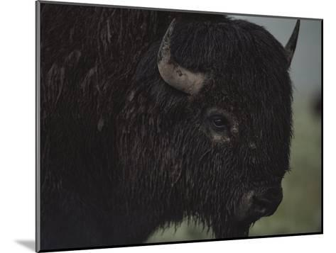 A Close View of an American Bison Wet with Rain-Raymond Gehman-Mounted Photographic Print
