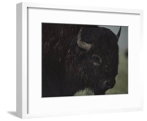 A Close View of an American Bison Wet with Rain-Raymond Gehman-Framed Art Print