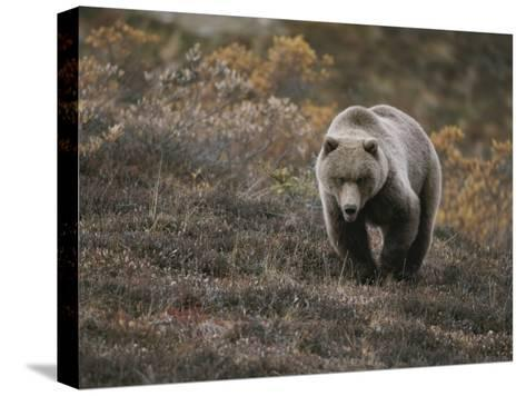 A Grizzly Walks Toward the Camera with a Serious and Threatening Look-Michael S^ Quinton-Stretched Canvas Print